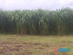 Vendo semilla y silos de bolsa de pasto de corte Cuba 22.