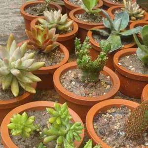 Arreglitos con plantas suculentas,cactus y crasas