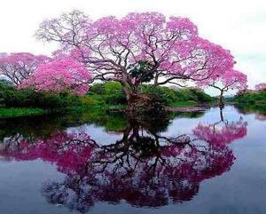 Rbol ornamental bonsai jardin hogar handroanthus