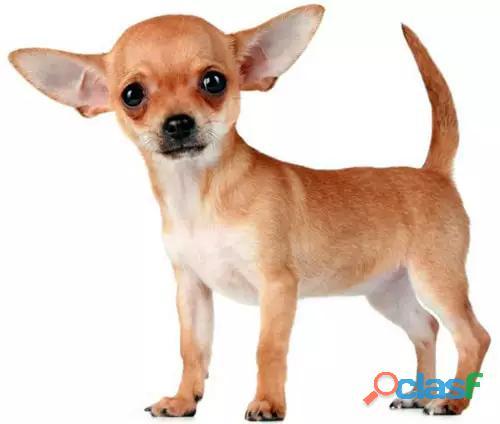 Busco en adopción, cachorro chihuahua mini en caracas.