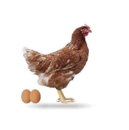 Alimentos para gallinas ponedoras, calidad garantizada