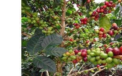 500 semillas de cafe arabico................código 16-82590