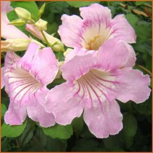 Plantas florales ornamentales semillas podranea ricasoliana