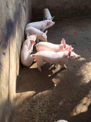 Cerdos lechones raza p. i. c