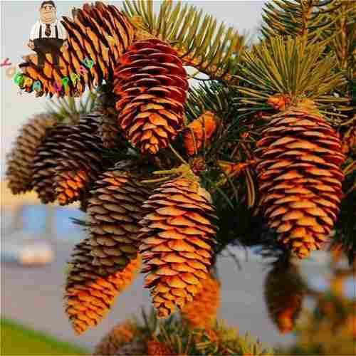 Piñas de pino para múltiples adornos