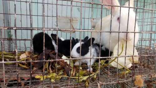 Conejos y gasapos nueva zelanda y chinchilla
