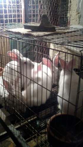 Pie de cria conejos manual pdf