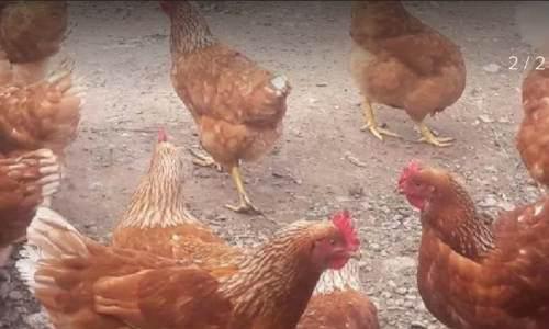 Pollonas gallinas ponedoras son 50 se vende lote completo