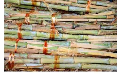 Semillas forraje pasto elefante pennisetum purpureum