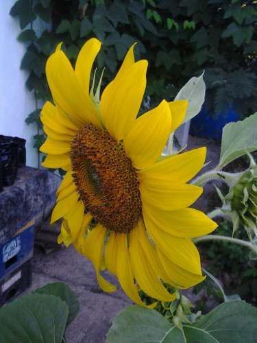 Girasol semillas de jardin, fértiles