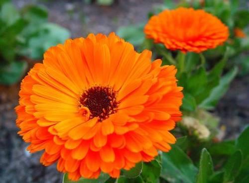 Jardin semillas calendula gigante triple