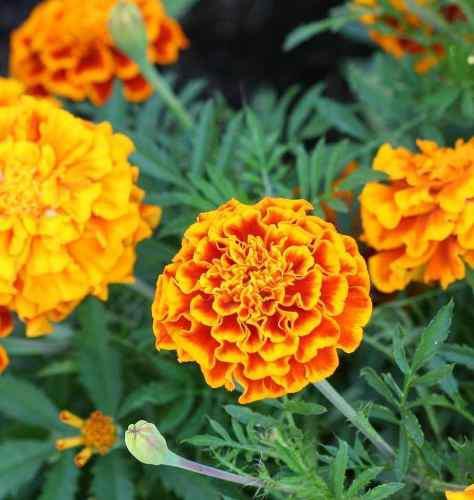 Semillas de flor marigold jardin y siembras certificada