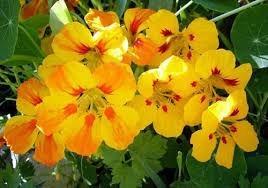 Semillas flores capuchinas x sobre