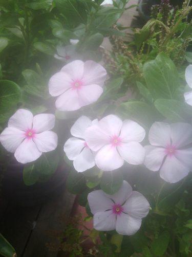 Semillas flores jardin vinca chipe obsequio