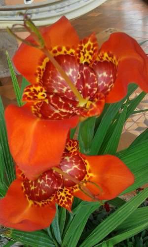 Semillas planta flor de tigre x 30 semillas