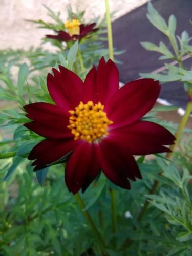 Semillas plantas flores cosmos chocolate atrosanguineus