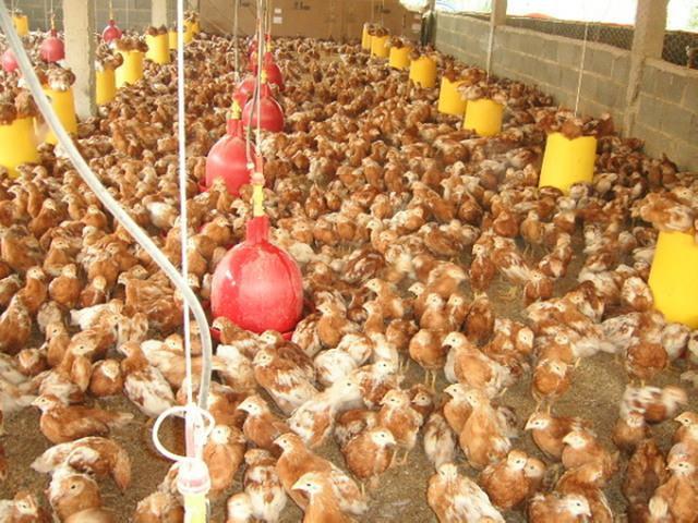Venta de gallinas ponedoras en cubiro