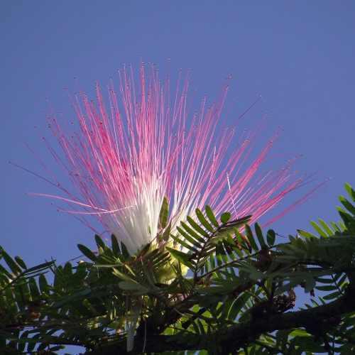 Rbol calliandra flores jardin o bonsai