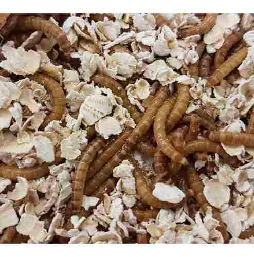100 tenebrios, gusanos de harina alimento vivo para reptiles
