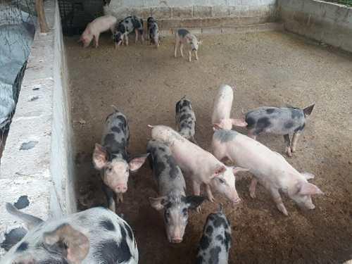 Cerdos lechones cochinos