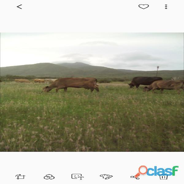 Vendo vacas lecheras