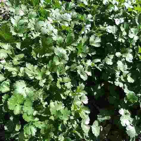 Semillas de cilantro y perejil, envase de 10 grs