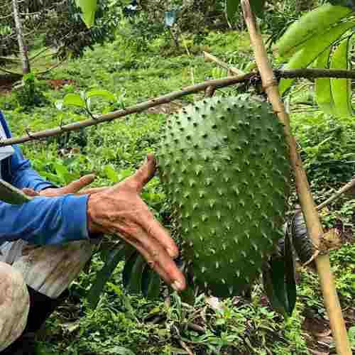 Semillas de guanabana gigante cultive y coseche ganancias