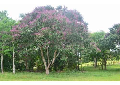 Semillas pilon arbol ornamental sombra jardin