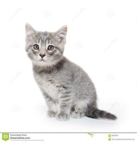 Gato Gris Bebe