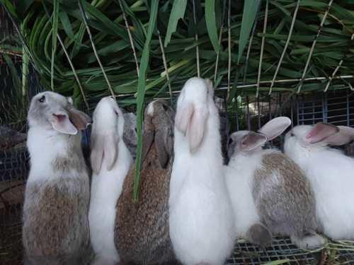 Conejos gasapos conejas mascota reproducción carne de