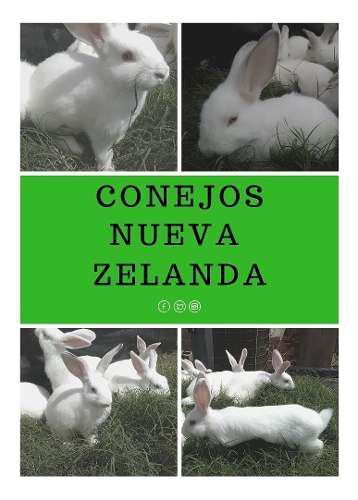 Conejos gazapos reproductores nueva zelanda