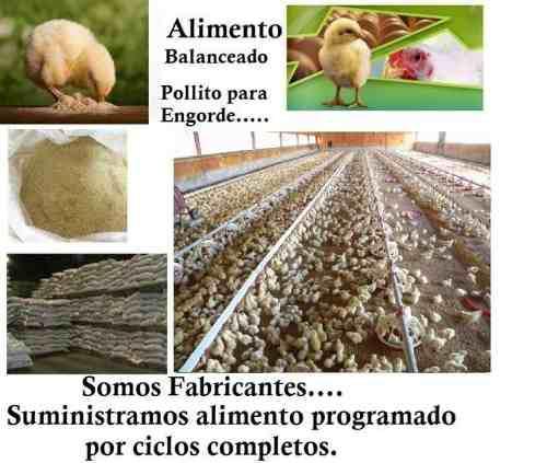 Inicio desarrollo y engorde pollo