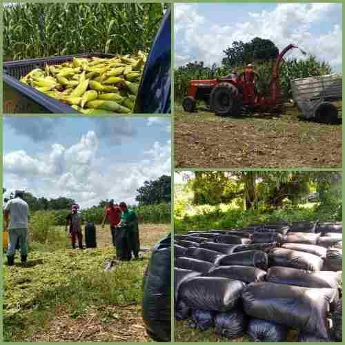 Bolsa silo ensilaje de maíz, alimento para rumiantes!