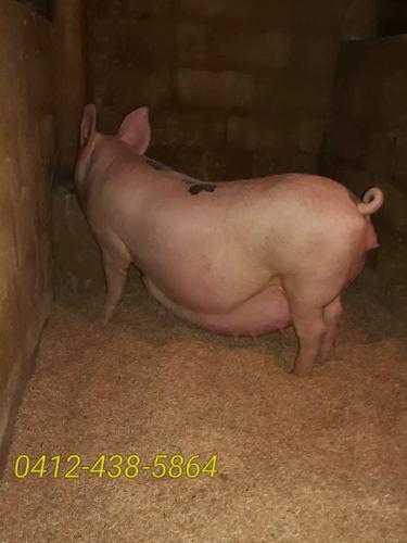 Cerdos reproductoras cargadas y alimento