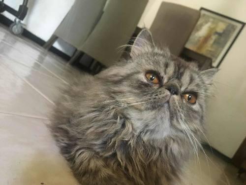 Hermosisimos gatitos persas machos