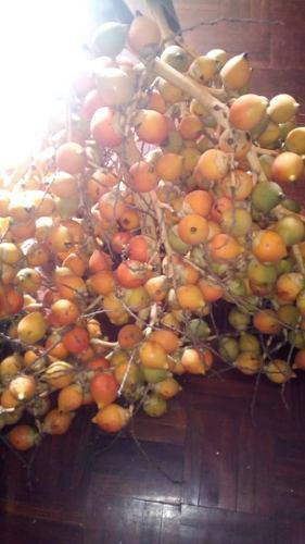 Semillas de palmera cola de zorro wodyetia bifurcata