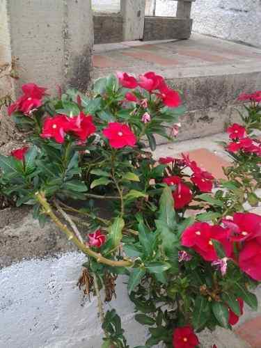 Vincas semillas flores