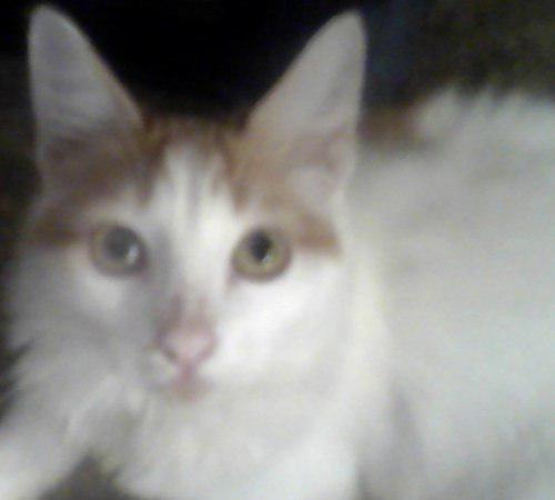 Hermoso Gato Van Turco