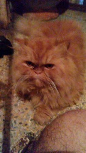 Gato persa para servico de monta