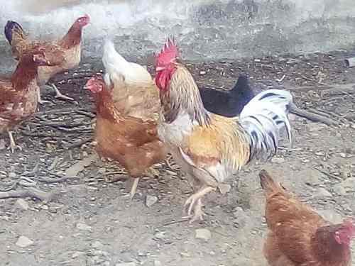 Gallinas gallos doble propósito