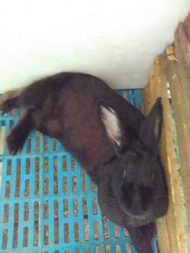 Conejos para cría, engorde o mascota, manual pdf