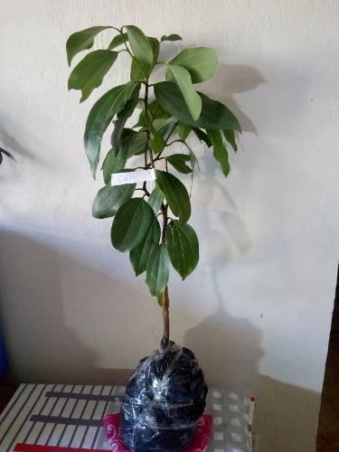 Plantas jardín canela, canelon, cinamon + obsequio