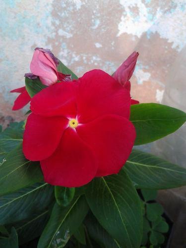 Semillas de flores damianas y muchas mas