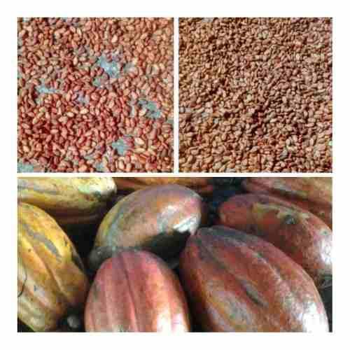 Semillas plantas theobroma cacao agricola