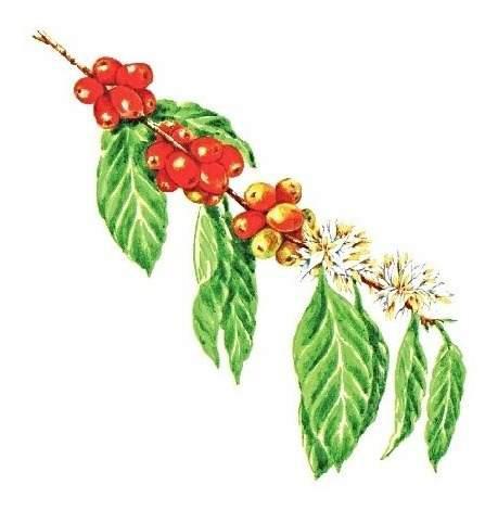 Semillas de cafe arabica colombia 27 con guia de cultivo