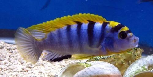 Ciclidos labridochromis sp. hongi