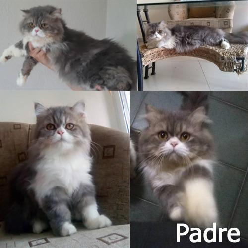 Gatos persas excelente camada