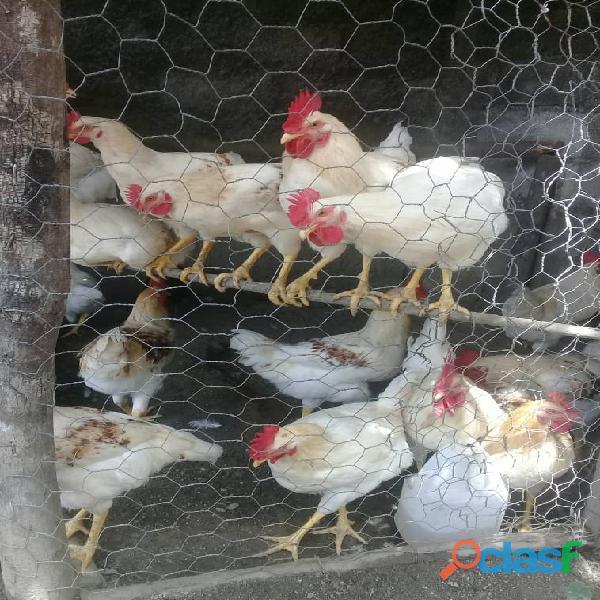 Venta de gallos y pollos blancos en san felipe yaracuy