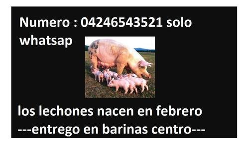 Cerdos lechones y mascotas de granja