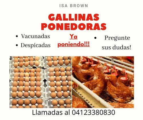 Gallins poonedoras